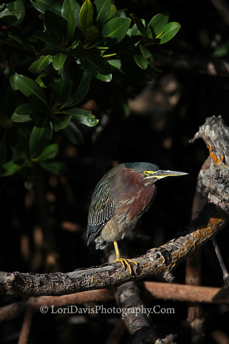 Green Heron Perched on Branch  #H21