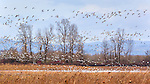 Snow Geese Landscape.  Sauvie Island, Oregon, home of the Sauvie Island Wildlife Area, farming and beaches.  Sauvie Island Wildlife area hosts ducks, geese, swans, eagles, herons and multiple other bird species plus deer, fox, beavers and racoons.  A clothing optional swimming beach is along one shore line.  Great bicycling near Portland.