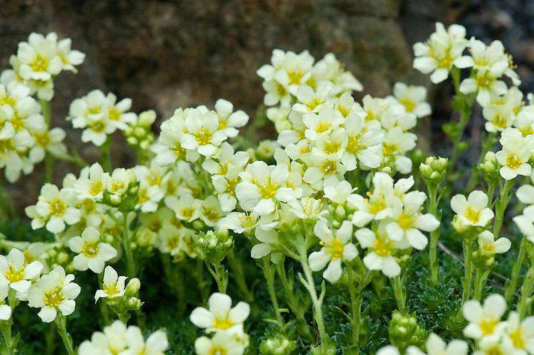 Kabschia saxifrage (Saxifraga x apiculata), glasshouse, early March.