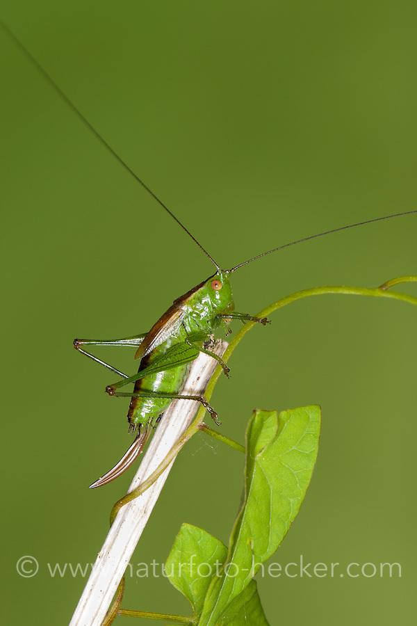 Kurzflügelige Schwertschrecke, Kurzflüglige Schwertschrecke, Weibchen mit langem Legebohrer, Conocephalus dorsalis, Xiphidion dorsalis, Xiphidion dorsale, short-winged conehead, short winged conehead, female