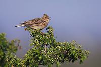 Eurasian Skylark, Alauda arvensis, male singing, National Park Lake Neusiedl, Burgenland, Austria, Europe