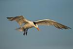 Royal Tern (Thalasseus maximus) juvenile landing, Amelia Island, Florida