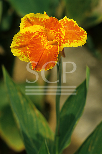 Amazon, Brazil. Flowering plant with contrasting yellow and red design on its petals, Canna sp, forest floor.