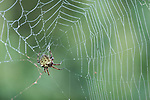Brazoria County, Damon, Texas; an Angulate orb-weaver spider in its web, feeding on prey in early morning light