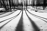 Shadows cast by a stand of dead trees on a winter morning. Firehole Valley. Yellowstone National Park, Wyoming, USA. January