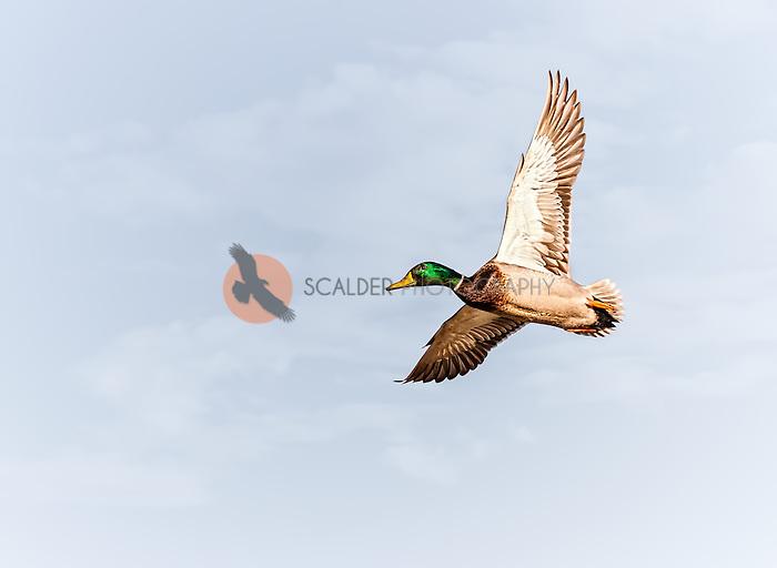 Male Mallard in flight against sky