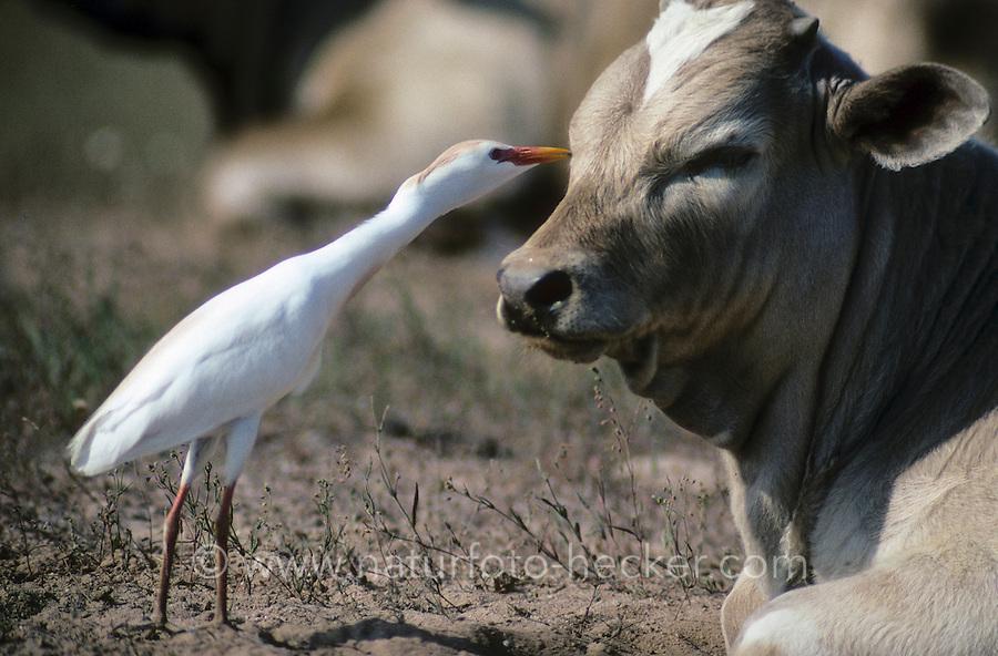Kuhreiher, sammelt, pickt Fliegen und Mücken von einer Kuh, Symbiose, Kuh-Reiher, Ardeola ibis, Bubulcus ibis, cattle egret, buff-backed heron