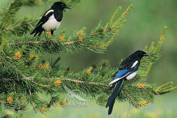 Black-billed Magpies.  Western U.S., summer.