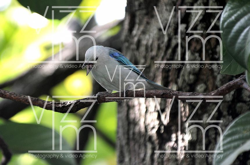 CALI - COLOMBIA, 30-06-2016: Azulejo, especie de ave presente en el norte de Cali. / Azulejo, bird species present in north of Cali Photo: VizzorImage / Luis Ramirez / Staff.