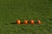 Schenectady, NY. 4 pumpkins in a row outside on the grass. Photos also available of 0, 1, 2, 3, and 5 pumpkins in the same position so can be used for math counting specs. ID: AK-ICP. © Ellen B. Senisi