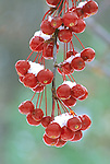 3025-CB Indian Summer Crabapple, Malus Indian Summer at Minnesota Landscape Arboretum