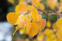Early snow on aspen leaves, near Dream Lake, Rocky Mountain National Park