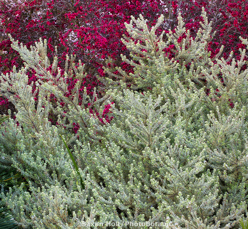 Gray, silver foliage shrub, Westringia fruticosa 'Smokey' (Smokey Coast Rosemary) in Southern California garden with Leptospmum
