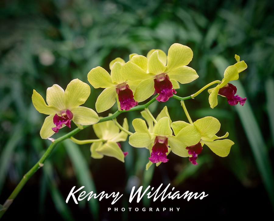Yellow Orchid, Tropical Flowers, Hawaii, USA.