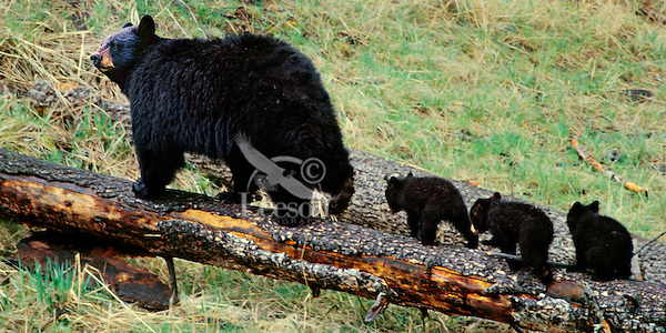 Black Bear ((Ursus americanus) mother with three young cubs.  Spring.  Northern Rockies.