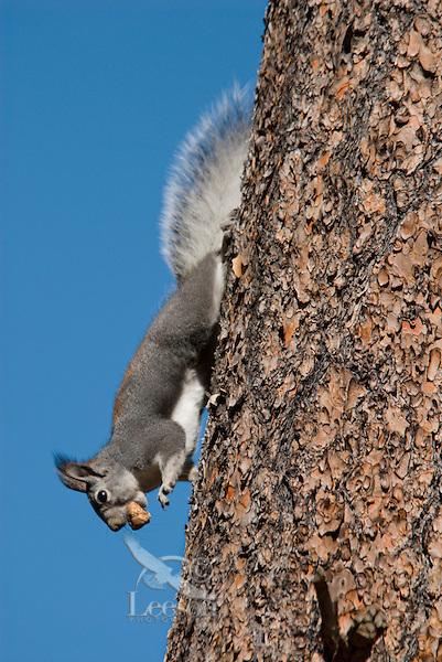 Abert's Squirrel (Sciurus aberti) with truffle.  South Rim, Grand Canyon, Arizona.