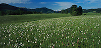 Wetland with cotton grass and orchids, Rothenthurm, Schwyz, Switzerland