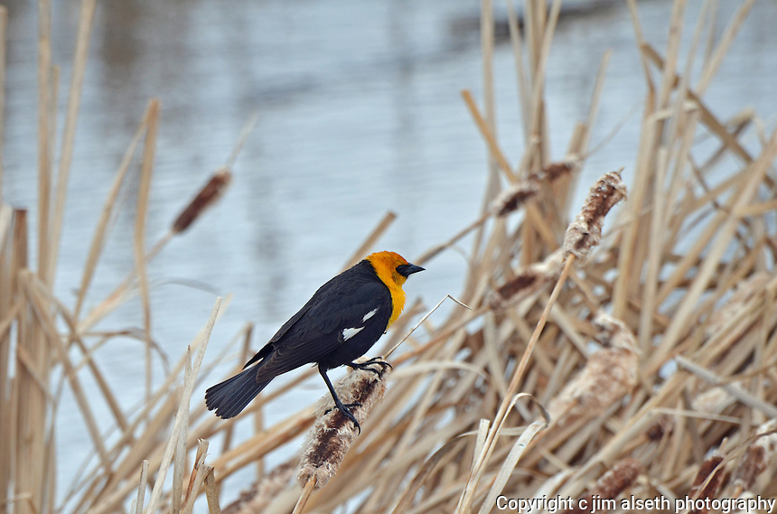 Yellow-headed Blackbird perched against the waters of Gull Lake Alberta...