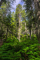Landscape Art Scenic photograph of forest of  giant cedar trees growing amongst the lush forest floor that is  located high up in the mountains near the city of Revelstoke, in British Columbia, Canada. <br />