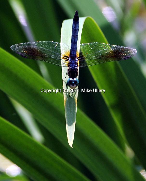 Dragonflies along the Piqua Hydraulic Canal