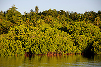 red mangrove, Rhizophora mangle, at sunset, Yap, Micronesia.