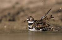 Killdeer, Charadrius vociferus, adult bathing, Starr County, Rio Grande Valley, Texas, USA