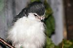 African Pygmy Falcom medium shot looking down