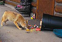 COYOTE raiding garbage can left outside house..Rocky Mountains. (Canis latrans).