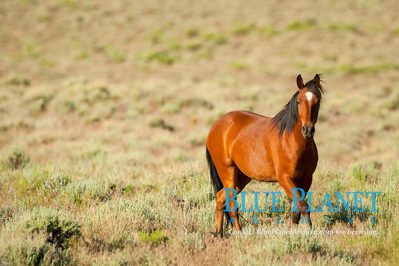 Wild horse, Equus ferus, Nevada
