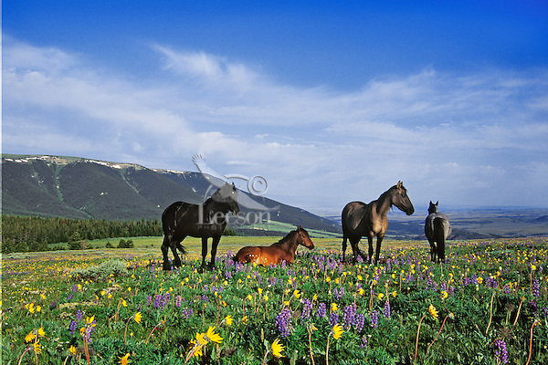 Wild Horse band in Pryor Mountains of Montana.  Summer..(Equus caballus)