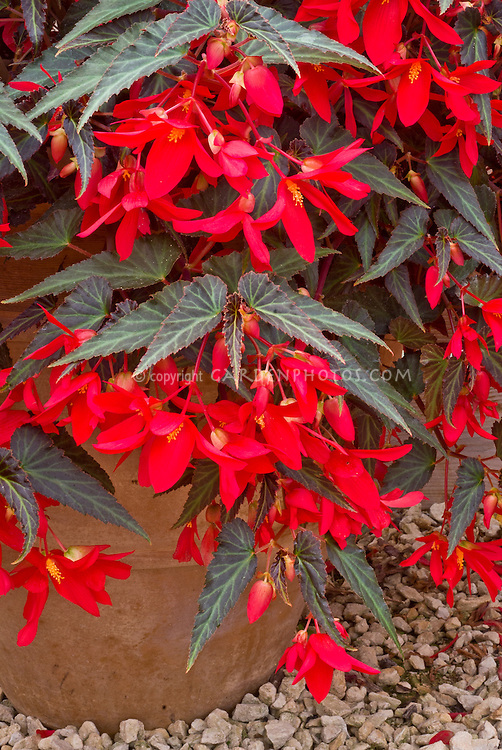 Begonia Million Kisses Amour ('Yamour') in pot container, red flowers
