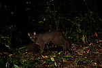 African Golden Cat (Caracal aurata aurata) grey morph male in rainforest, Kibale National Park, western Uganda