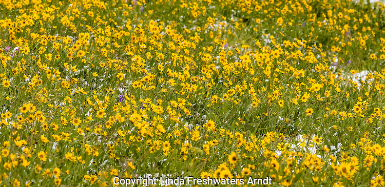 July field of wildflowers and snow in Yellowstone National Park