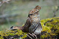 Ruffed Grouse (Bonasa umbellus)--male drumming during spring mating season.  Pacific Northwest.