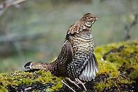 Ruffed Grouse (Bonasa umbellus)--male drumming during spring mating season.  Pacific Northwest.