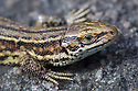Common Lizard (Lacerta vivipara) close up of head, basking on rock. Peak District National Park, Derbyshire, UK. August.
