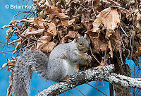 MA23-521z  Gray Squirrel at Nest in the tree branches, Sciurus carolinensis, © Brian Kuhn/Dwight Kuhn Photography