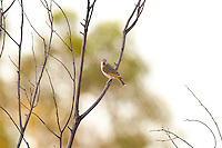 Rufous-Throated Honeyeater, S of Elliot, NT, Australia