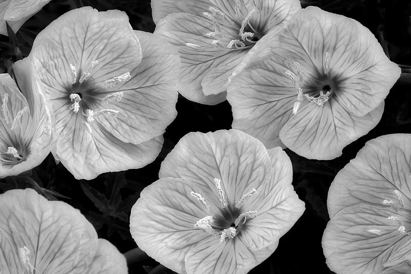 Close up of Siskiyou Evening Primrose (Oenothera siskiyou). Oregon