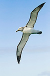 Salvin's Albatross (Thalassarche salvini) flying, Kaikoura, South Island, New Zealand