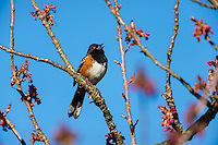 Male Spotted Towhee (Pipilo maculatus) singing.  Pacific Northwest, spring.