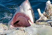 great white shark, Carcharodon carcharias, feeding on a whale carcass, False Bay, South Africa
