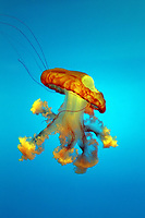 A colorful jellyfish in Beijing Aquarium.