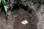 """The last egg at the bottom of a nest pit recovered by turtle biologist in late July.  These eggs will be hacthed in captivity, and the young turtles """"head-started"""" and released the following year many times larger than they would be in the wild."""