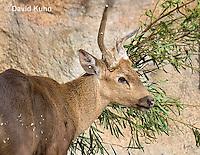0524-1102  Male Calamian Deer (Hog Deer), Hyelaphus calamianensis  © David Kuhn/Dwight Kuhn Photography