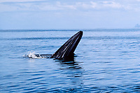 Bryde's whale, Balaenoptera edeni, New Zealand (S. Pacific Ocean)