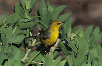 Blue-winged Warbler, Vermivora pinus, female, South Padre Island, Texas, USA, May 2005