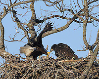 Eaglet grabs the talon of the adult eagle looking for food.