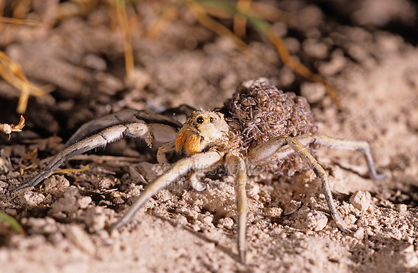 Wolf Spider, Lycosidae, female with young spiders on back, Starr County, Rio Grande Valley, Texas, USA, May 2002