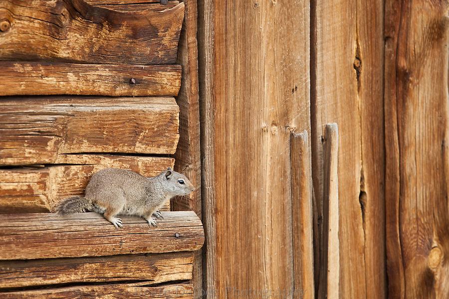 Ground squirrel on Moulton barn
